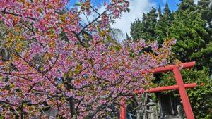 走湯神社前には1本の桜が